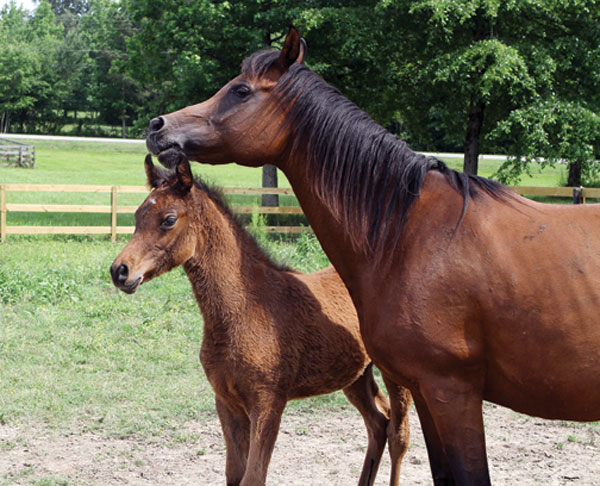 Mother Horse And Foal Foal-and-mother