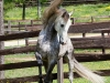 lusitano-horses-1