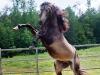 lusitano-horses-11