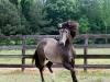 lusitano-horses-12