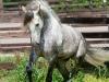 lusitano-horses-2