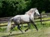lusitano-horses-3