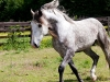 lusitano-horses-5