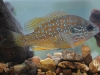longear-sunfish