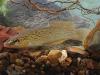 southern-studfish