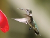 hummingbird-fly-2