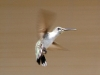 hummingbird-fly-3