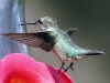 hummingbird-fly-4