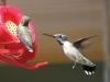 hummingbird-teaser