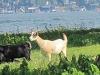 Goat-Island