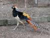 hen-house-pheasant