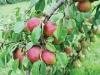 wadsworth-farms-peaches