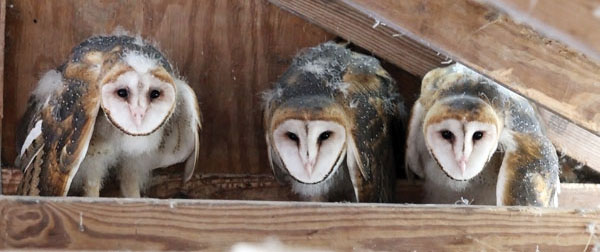 barn-owls-alabama-3