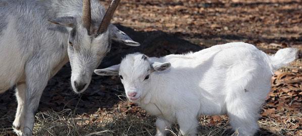 dwarf-goats-st-clair