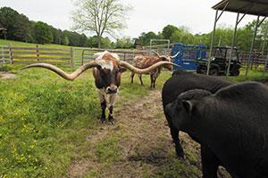 st-clair-texas-longhorn-cattle