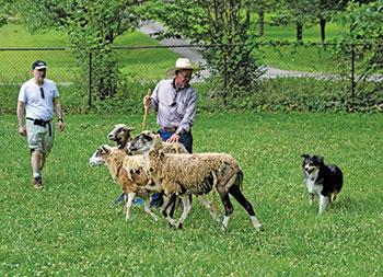 leeds-dog-herding-2