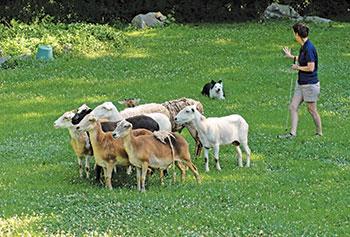 leeds-dog-herding-3