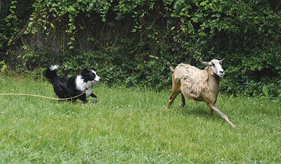 leeds-dog-herding